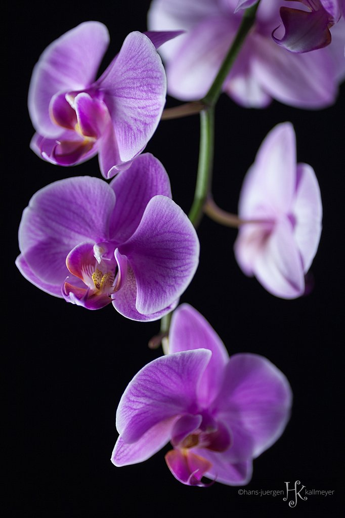 #orchid01