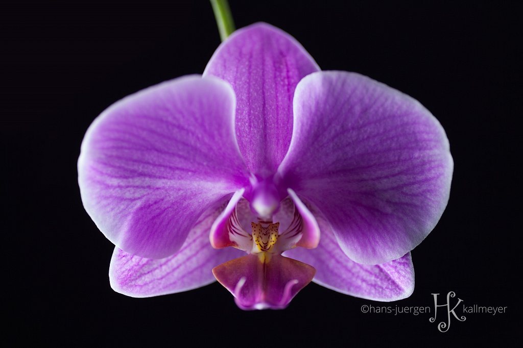 #orchid03